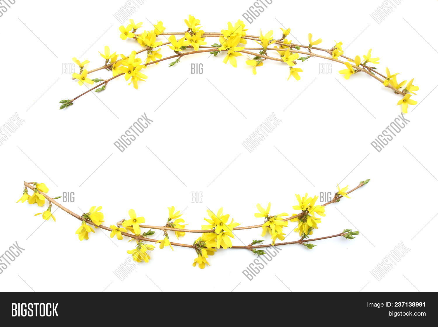 Forsythia Branches Image Photo Free Trial Bigstock