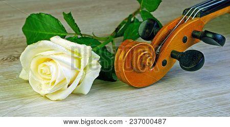 Rose In Drops And A Violin. Closeup.