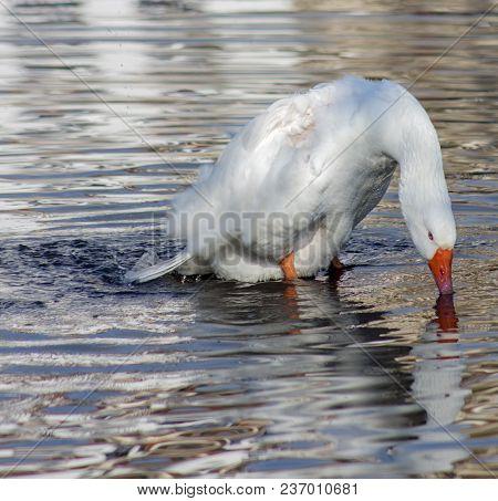 Graceful Goose In Rainwater.   In Kastoria Near Lake Orestiada, Greece, These Birds Live Freely.