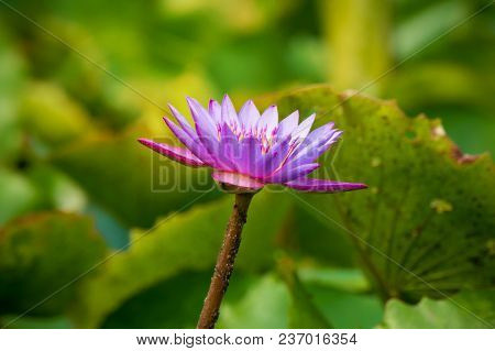 Purple Or Violet Lotus Flower In Pond. Purple Lily Flower In Artificial Pond.