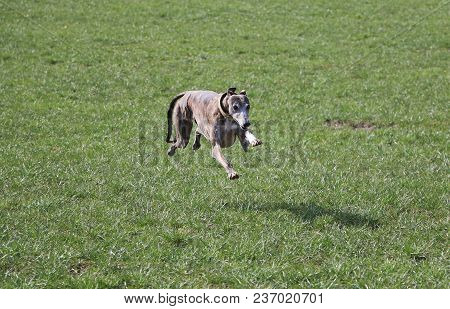 Brindle Galgo Is Running In The Garden