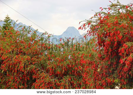Evergreen Tree, Shrub Callistemon, Cylindrical Inflorescences Bright Red, Many Hanging Flowers, The