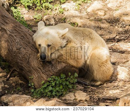 A Brown Syrian Bear Taking A Nap On A Tree Trunk