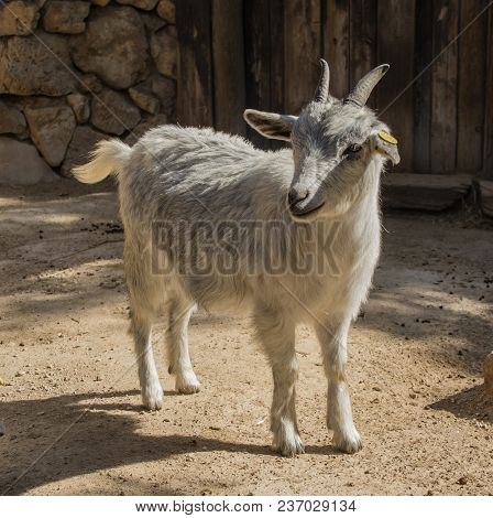 A Young Goat Standing In A Sunlit Yard