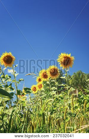 Sunflower Field Over Cloudy Blue Sky And Bright Sun Lights