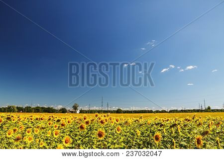 Sunflower Field Over Cloudy Blue Sky And Bright Sun Lights. Summer Landscape, House In A Field Of Su