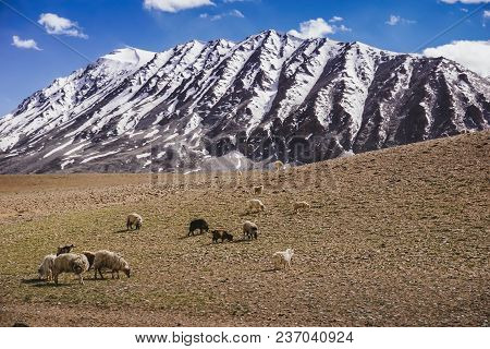 Livestock Kashmir Goats In Beautiful Landscape With Snow Peaks And Blue Sky Background,north India.