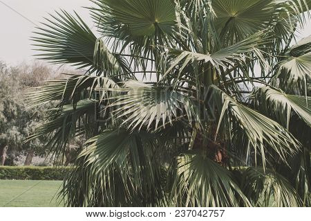 Exotic Palm Tree In A Garden. Leaves Of Tropical Palm Tree