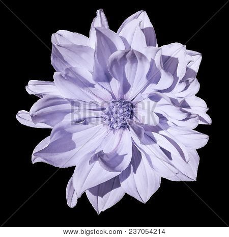 Dahlia  Light Violet  Flower  On An Isolated  Black  Background With Clipping Path. Closeup. No Shad