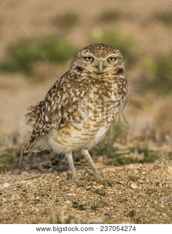 A Curious Burrowing Owl Rests On The Top Of A Prairie Dog Mound In A Southern New Mexico Prairie.