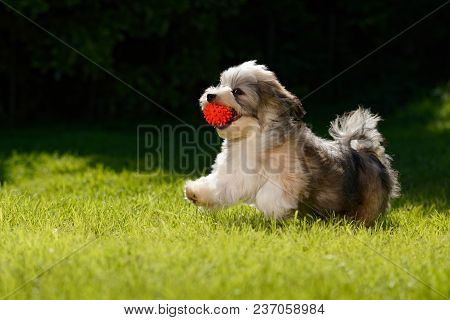 Playful Little Havanese Puppy Dog Running With A Red Ball In His Mouth In The Grass