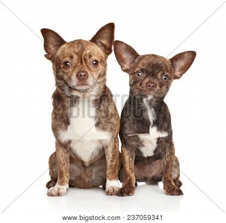 Cute Chihuahua Dogs On White Background