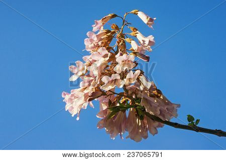 Springtime. Flowers Of Paulownia Tomentosa Tree Against  Blue Sky. Free Space For Text