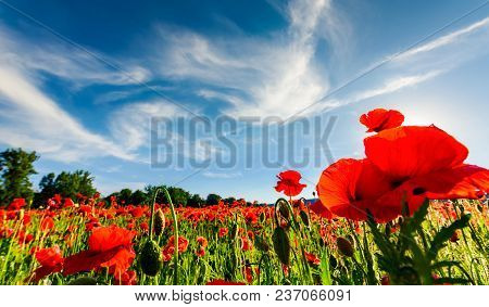 Poppy Flowers Field Under The Blue Sky With Clouds. Beautiful Summer Landscape At Sunset