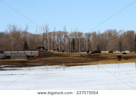 Cattle In The Barnyard During A Early Spring Day.