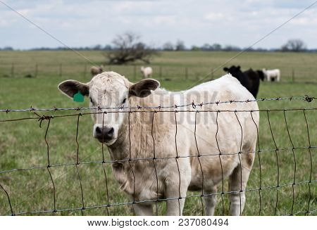 White Charolais Heifer Standing Behind A Wire Fence In A Spring Pasture.