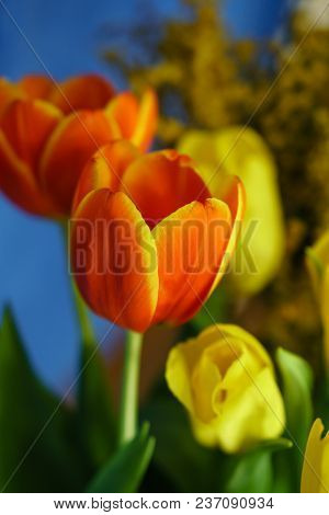 Bouquet Of Yellow And Red Tulips Close-up. The Yellow Mimosa Is Out Of Focus In The Background. Flor