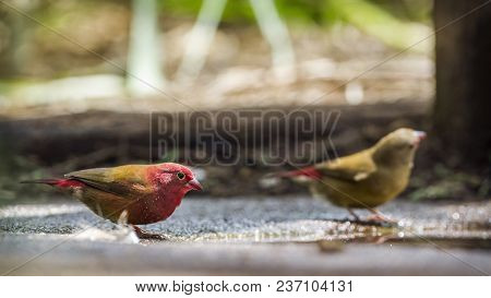 Red-billed Firefinch In Mapungubwe National Park, South Africa ; Specie Lagonosticta Senegala Family