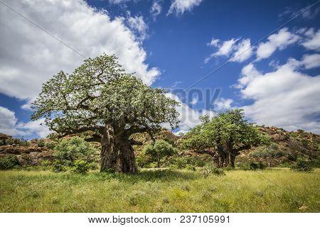 Baobab Treeafrican Bush Elephant In Mapungubwe National Park, South Africa ; Specie Adansonia Digita
