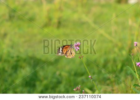 A Monarch Butterfly With Pink Small Flowers.