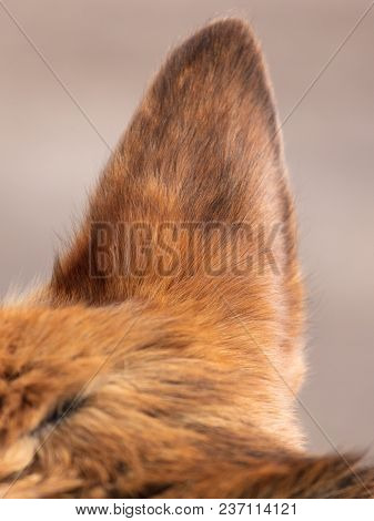 The Ears Of A Dog Stand Up In The Open Air