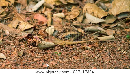 Orange Lizard On Ground. Brown Iguana In Wild Nature. Mimicry Skin. Exotic Animal In Natural Environ