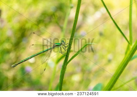 A Green-bronze Beautiful Dragonfly Sits On A Blade Of Grass. Photo Flying Insect Close-up.