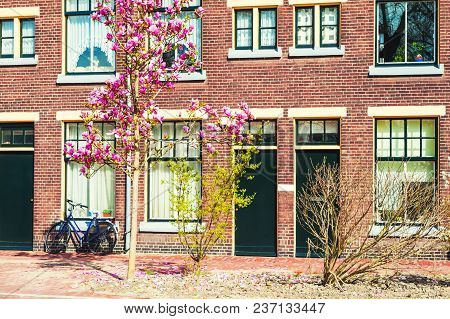 Blooming Magnolia Flowers On The Street In Leiden, Netherlands