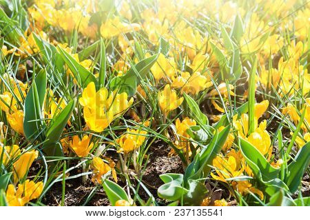 Blooming Yellow Crocuses In Spring. Selective Focus