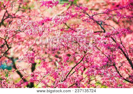 Blooming Tree With Pink Flowers In Spring