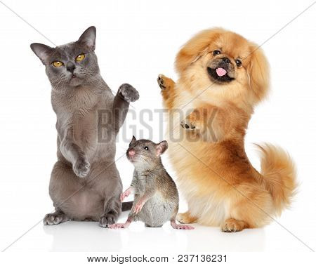 Group Of Dancing Pets On A White Background. Burmese Kitten Pekingese Dog And Rat.