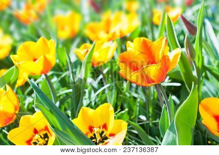 Blooming Yellow Tulips Close Up. Selective Focus