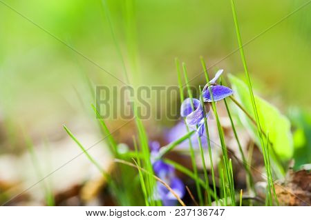Blooming Violet Flowers In The Spring Forest. Macro Image, Shallow Depth Of Field