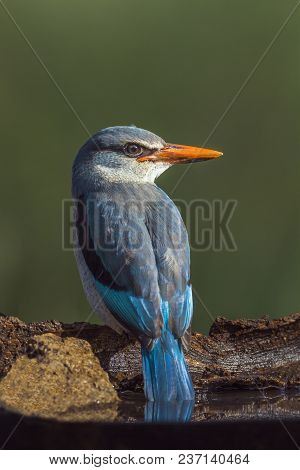 Woodland Kingfisher In Mapungubwe National Park, South Africa ; Specie Halcyon Senegalensis Family O