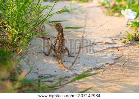 Brown Lizard On White Sand In Green Grass. Exotic Animal In Wild Nature. Tropical Jungle Forest Inha