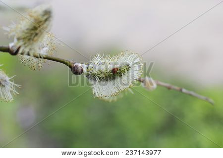 Willow Catkin With Flowers Spring Sundey Ester