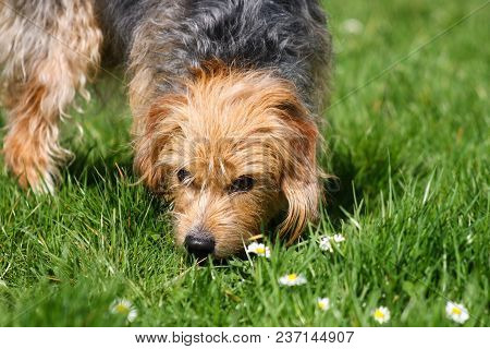 A Tan And Brown Terrier Mongrel Dog Sniffing Grass And Daisies