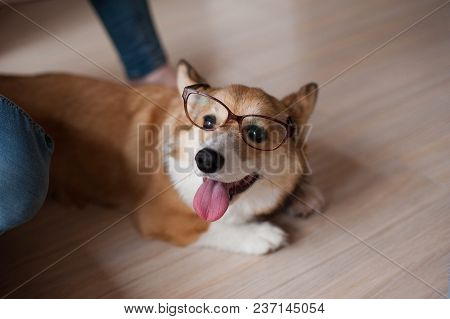 Funny Welsh Corgi Pembroke Puppy With Glasses Home, Happy Smiling Dog