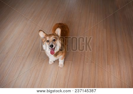 Welsh Corgi Pembroke Puppy At Home, Happy Smiling Dog.
