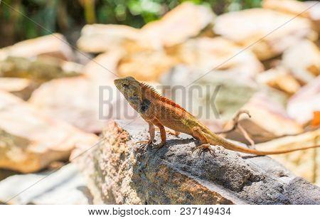 Small Orange Iguana Lizard On Hot Sunny Stone. Orange Lizard On Ground. Brown Iguana In Wild Nature.