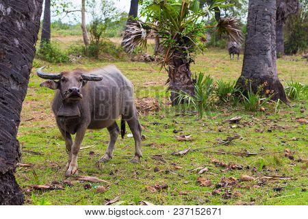 Black Buffalo Or Carabao On Green Grass Pasture, Asian Countryside Landscape. Asia Travel Photo. Bla