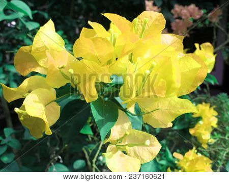 Beautiful Yellow Bougenville Flower Photography, Tropical Plant