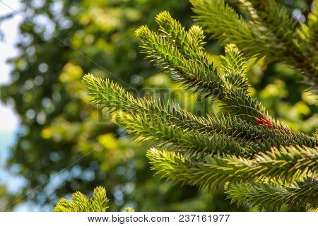 Araucaria Araucana Or Chilean Pine - Evergreen Conifer Tree  Branch With Soft Needles, Growing In A