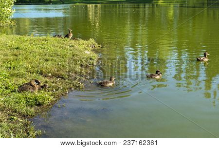 Pond With Ducks ,a Duck With A Brood Of Ducklings On A Pond