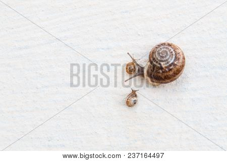 A Large Grape Snail With Small Snails Crawls Along A White Textured Surface