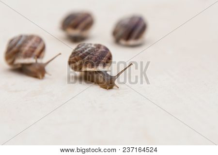 Race Of Large Grape Snails With Brown Shells On A White Textured Surface