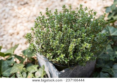 Lemon Thyme In A Stone Pot In A Rock Garden With Ivy