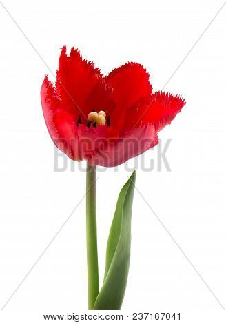 Tulip With Leaves, Isolated On White Background. Single Tulip Flower Isolated On White.
