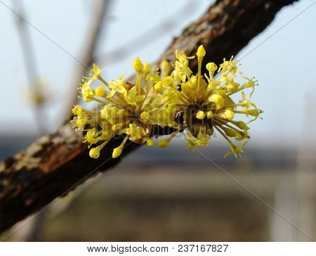 The Yellow Dogwood Flower Has An Interesting Shape. Inflorescence Of Numerous Neat Little Rays.