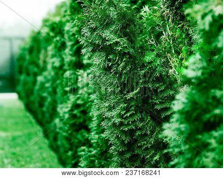 Row Of Green Fir Tree Bokeh Object Background Hd